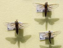昆虫蛾类高山松毛虫标本