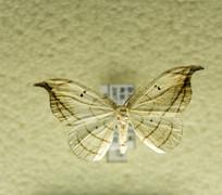昆虫蛾类构月天蛾标本