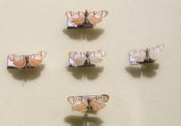 昆虫蛾类海南松毛虫标本