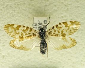昆虫蛾类黄点缺角天蛾标本