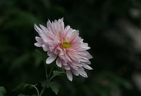 美丽的菊花