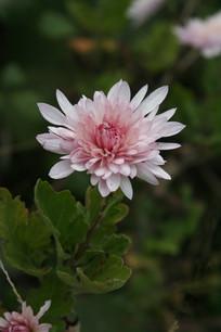一朵粉红色菊花