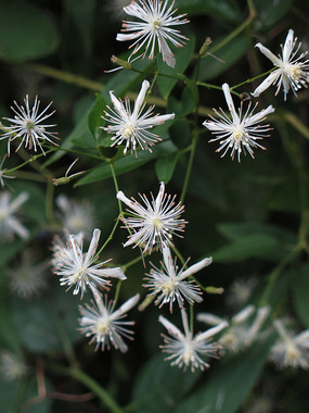 白色的威灵仙花朵