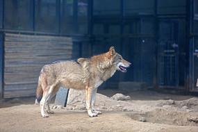 动物园里的狼