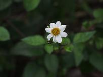 鬼针草白色花朵
