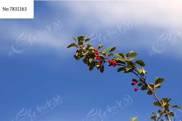 蓝天下的光叶山楂树枝图片