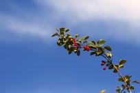 蓝天下的光叶山楂树枝