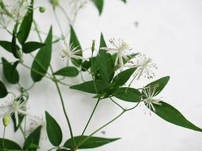 毛茛科植物威灵仙