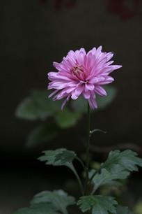 美丽的粉红色菊花