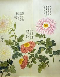清代钱维城《洋菊图》卷之十六