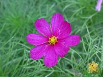 鲜艳的波斯菊