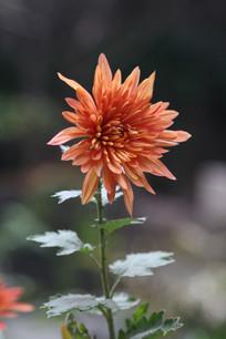 一朵橙色的菊花