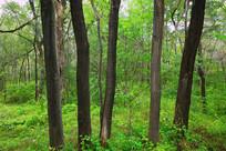 整齐的柳树树干