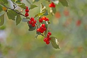 枝头上的光叶山楂果实