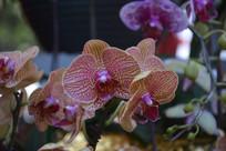 斑点蝴蝶兰观赏花