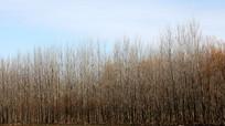 冬天的杨树林