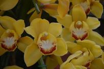 黄色蝴蝶兰观赏花