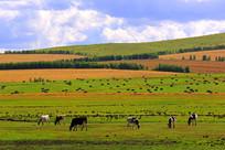 秋季草场牛群风光