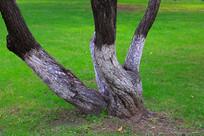 草地中的榆树树干
