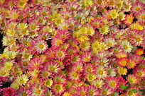 一片盛开的小菊花
