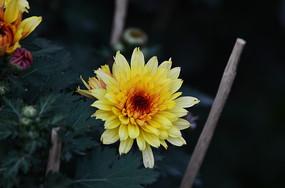 暗背景金色的菊花特写图片