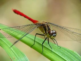 红叶上的竖眉赤蜻