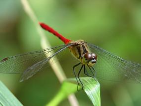 蜻科昆虫竖眉赤蜻