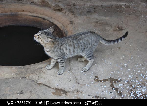 农家小灰猫图片