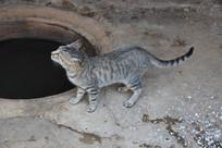 农家小灰猫