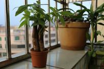 盆栽富贵树