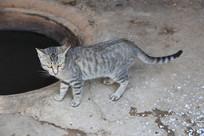 铁锅边的小灰猫