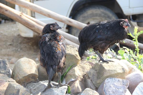 原生态黑羽乌骨鸡