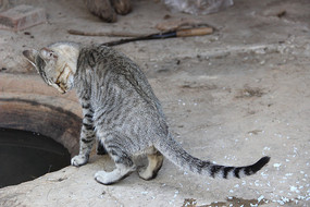 照自己影子的小灰猫