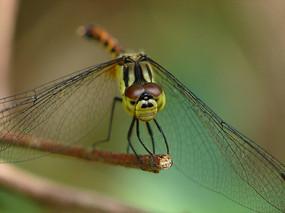 枝头上的竖眉赤蜻