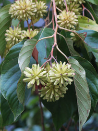 中国特有植物喜树花果