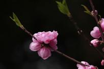 半开的粉红色桃花