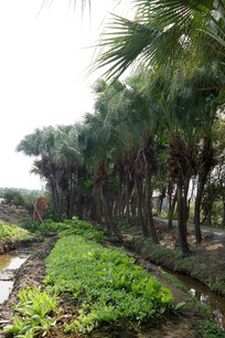 葵树林与菜园