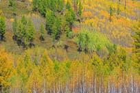 秋季松桦混交林风光