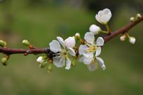 珍珠绣线菊