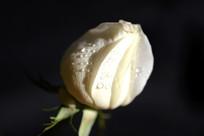 白玫瑰花卉高清特写
