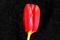 红色郁金香花卉特写