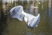 湖面飞翔的红嘴鸥