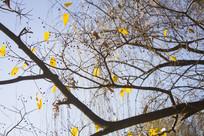 秋天的大树和黄色的树叶