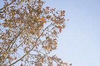 秋天的梧桐大树