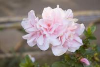 一朵盛开的粉色茶花