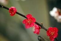 一支盛开的红梅花