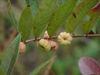 大戟科植物算盘子果实