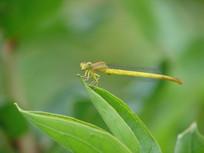 停歇在树叶上的短尾黄蟌