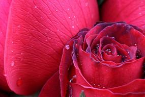 红色玫瑰花花蕊高清特写
