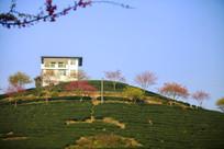 茶园山上的栅花